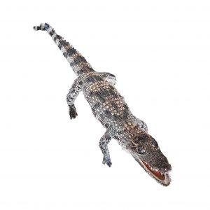 cá sấu thật nhồi bông