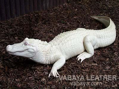 da cá sấu