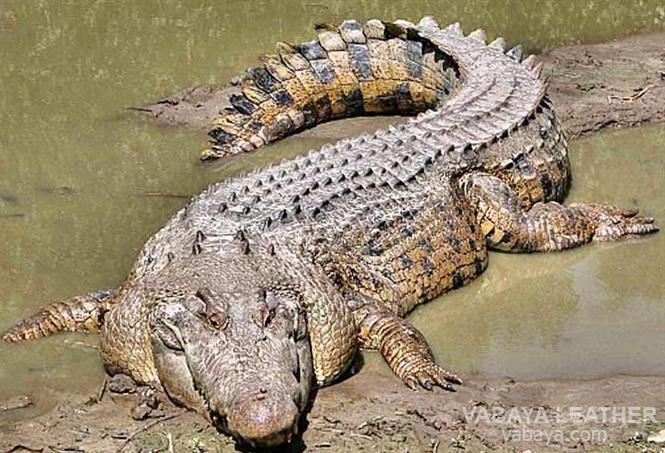 Da cá sấu bảo vệ chúng dưới bùn