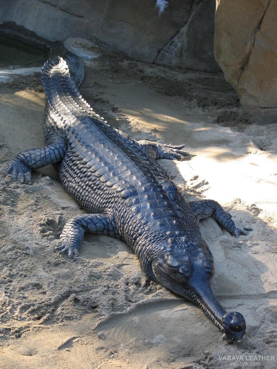 Cá sấu sông Hằng (Họ Gavialidae)