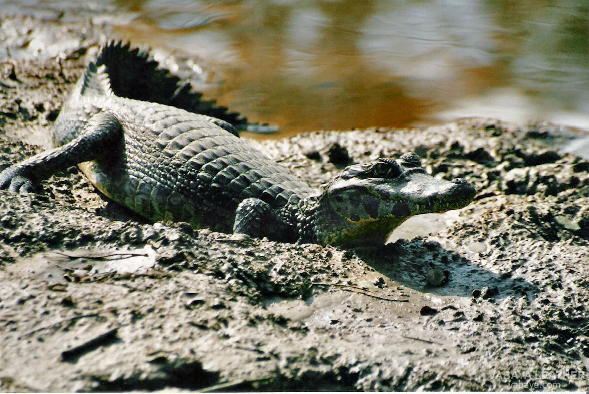 Cá sấu Caiman