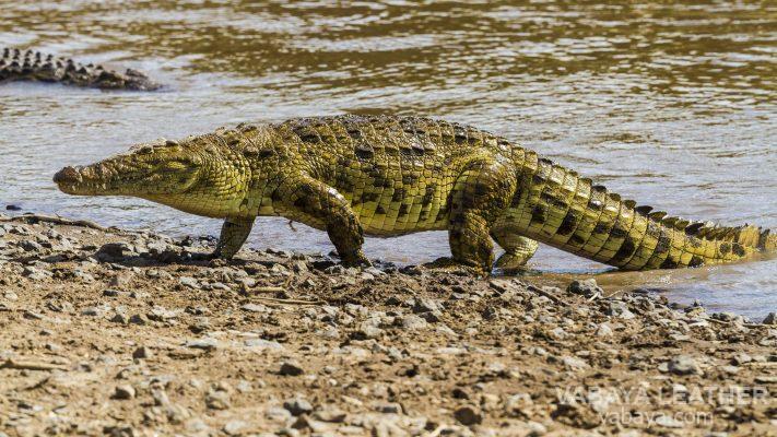 Cá sấu săn mồi ngoài thiên nhiên