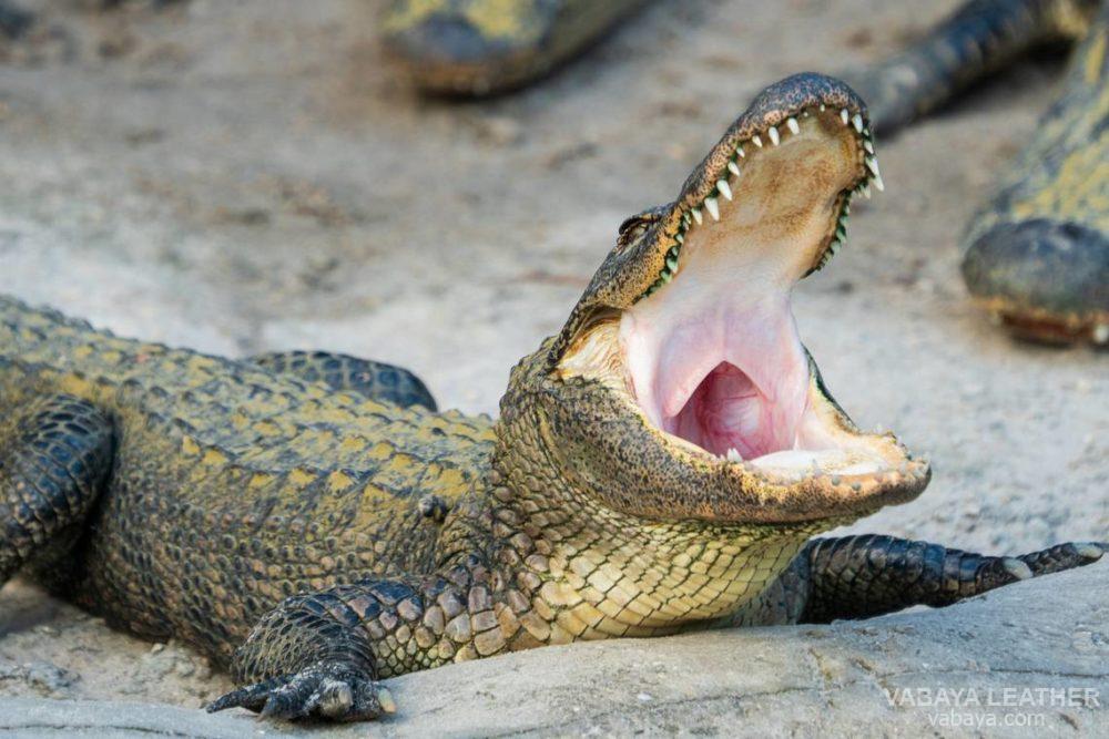 Cá sấu mõm ngắn thực sự (Chi Alligator, họ Alligatoridae)
