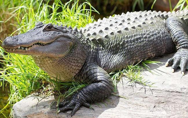 Nuôi cá sấu riêng biệt