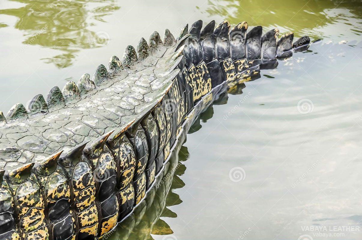 Da ở phần đuôi của cá sấu