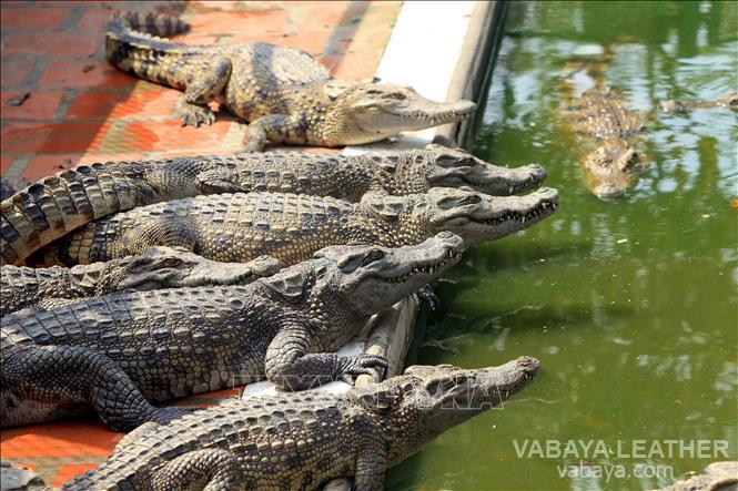 Một trang trại nuôi cá sấu ở Việt Nam